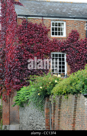 An old quaint Country House covered in red ivy.  Beneath the house is a green bush with bright yellow flowers - Stock Photo