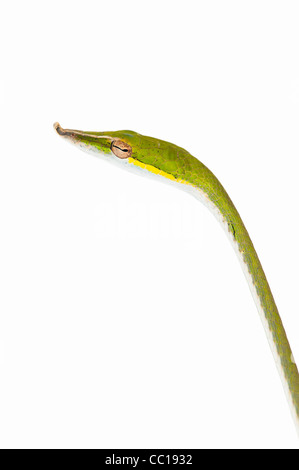 Ahaetulla nasuta . Juvenile Green vine snake on white background - Stock Photo