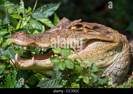 Spectacled caiman (Caiman crocodilus) hiding in grass at Cano Negro National Refuge, Costa Rica. - Stock Photo