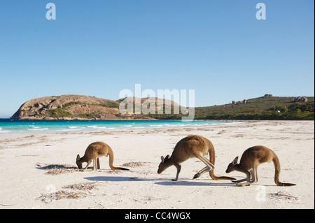 Three Kangaroos on beach, Lucky Bay, Cape Le Grand National Park, Western Australia, Australia - Stock Photo