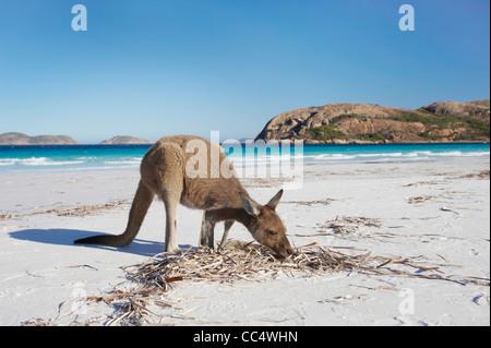 Kangaroo on the beach, Lucky Bay, Cape Le Grand National Park, Western Australia, Australia - Stock Photo
