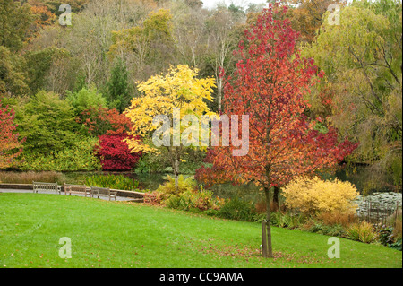 sweet gum tree leaves turning yellow in autumn liquidambar stock photo royalty free image. Black Bedroom Furniture Sets. Home Design Ideas