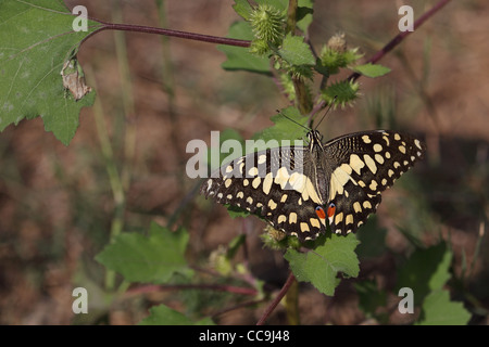 Lime Butterfly (Papilio demoleus) - Stock Photo