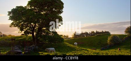 Evening cattle grazing, County Mayo, Ireland. - Stock Photo