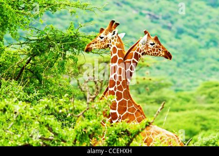 African giraffes family, two animals fighting with necks, beauty of wildlife, safari travel - Stock Photo