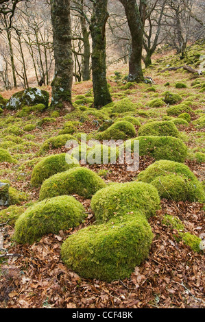 Moss-covered boulders in woodland near Peanmeanach bothy, Lochailort, Lochaber, Scotland. - Stock Photo