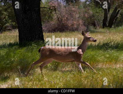 A deer runs in the Effie Yeaw Nature Center past preschoolers from Little Treasures Christian Learning Center in - Stock Photo