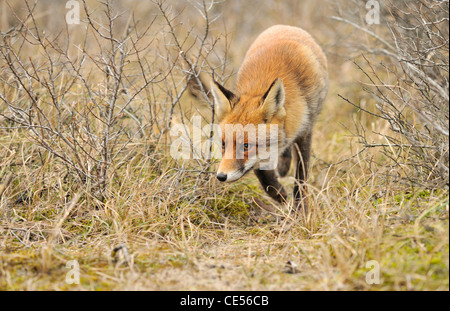 Red fox (Vulpes vulpes) looking for prey in the bushes along animal track - Stockfoto