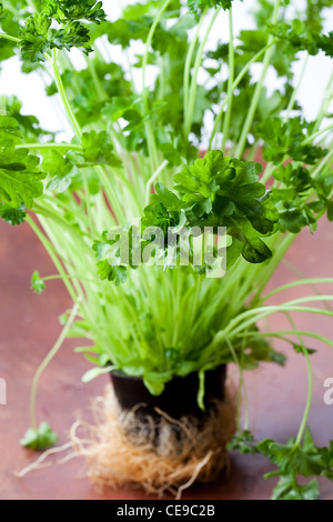 Green fresh parsley. Close-up on a wooden plate. - Stock Photo