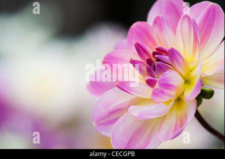 Dahlia 'Oriental Dream' flower. Waterlily Dahlia. - Stock Photo