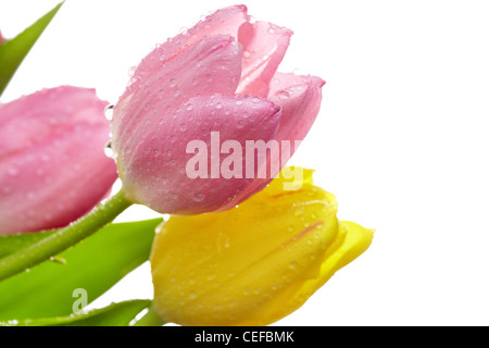 Macro shot of fresh tulips with water drops on their petals - Stock Photo