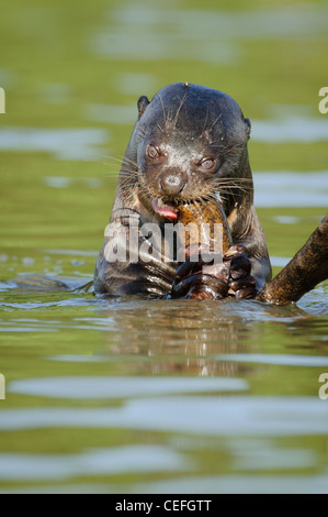 A wild Giant River Otter feeding on fish - Stock Photo