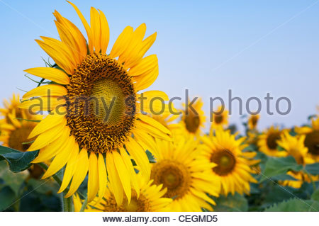 Sunflower field in the Indian countryside, Andhra Pradesh, India - Stockfoto