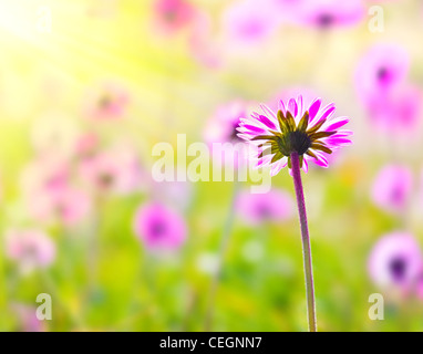 Pink fresh flower field with selective focus, natural background with sunlight - Stock Photo