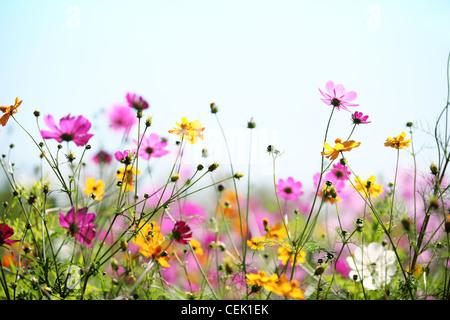 Daisy flower against blue sky,Shallow Dof. - Stock Photo