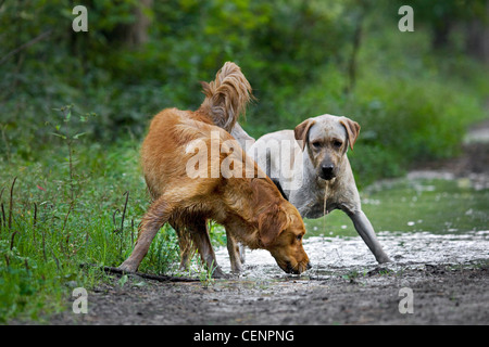Thirsty Golden retriever and labrador dogs drinking water from muddy puddle on track in forest, Belgium - Stock Photo