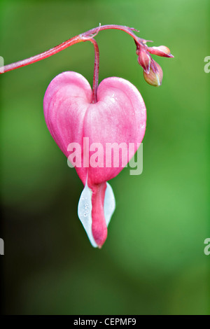 Close up of single pink bleeding heart flower against vivid green out of focus foliage taken in Bristol UK - Stock Photo