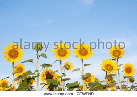 Cultivation of sunflowers in the Indian countryside. Andhra Pradesh, India - Stockfoto