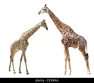 two giraffes isolated in white background. - Stockfoto