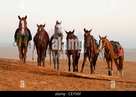 Horses in desert near pyramids in Giza, Egypt - Stock Photo