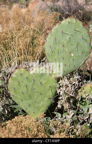 Prickly Pear Cactus Pad in Herzform - Stockfoto
