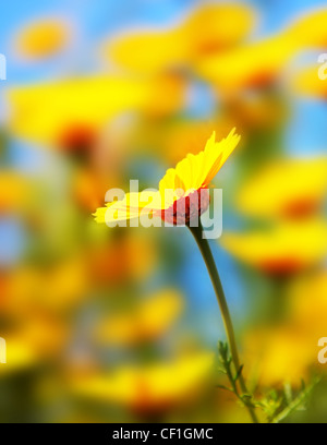 Spring field of yellow fresh daisies over blue sky, shallow dof - Stock Photo