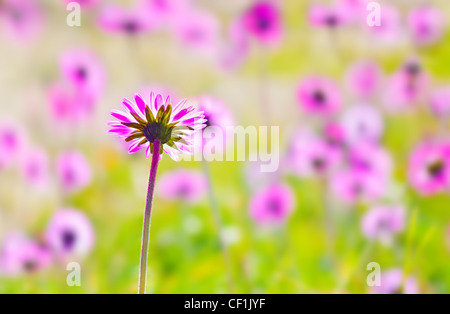 Pink fresh flower field with selective focus, natural background - Stock Photo