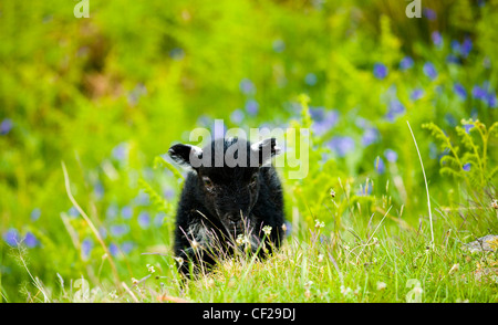 Lake District National Park. Black Lamb and a blanket of bluebells on a fell near Dunnerdale Forest. - Stock Photo