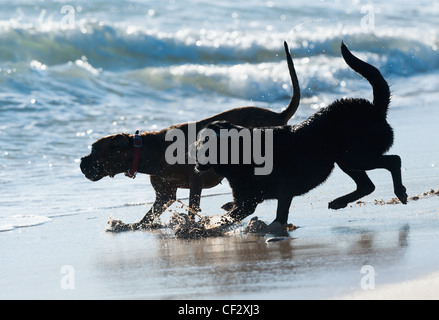 Two Dogs Playing In The Water On The Beach At Punta Paloma; Tarifa Cadiz Andalusia Spain - Stock Photo