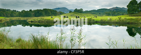 A classic view of rolling hills, pasture and grazing cows reflected on the still surface of Elter water in the Lake - Stock Photo