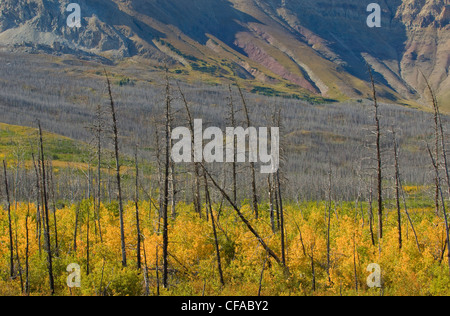 Natural Regeneration of Forest following forest fire on Sofa Mountain, Waterton Lakes National Park, Alberta, Canada. - Stock Photo