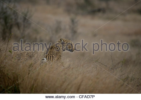 Young female Leopard - Stock Photo