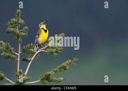 Western meadowlark (Sturnella neglecta) singing in the grasslands of British Columbia - Stock Photo