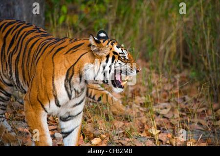 Bengal Tiger, Bandhavgarh National Park, Madhya Pradesh, India - Stock Photo