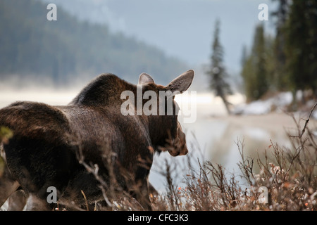 Adult Moose on an early misty morning, Maligne Lake shoreline, Jasper National Park, Alberta, Canada. - Stock Photo