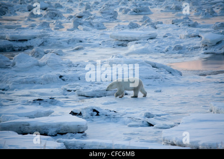 A Polar Bear walks along the ice on the Hudson Bay coast near the Seal River estuary north of Churchill in Manitoba, - Stock Photo