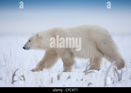Polar Bear Ursus maritimus walks among caribou - Stock Photo