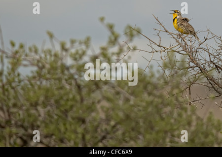 Western Meadowlark singing, Grasslands National Park, Saskatchewan. - Stock Photo
