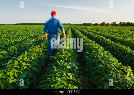 A man in a mid growth soybean field, Manitoba, Canada - Stock Photo