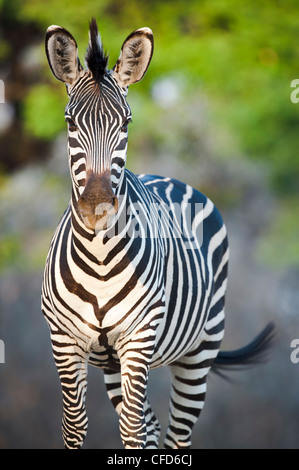 Crawshay's Zebra - subspecies of Plains Zebra. On the banks of the Luangwa River. South Luangwa National Park, Zambia - Stock Photo