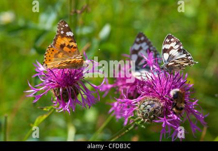 Flower with butterfly near Rust in the Taubergiessen, Spring, Breisgau, Ortenau, Baden Wuerttemberg, Germany, Europe - Stock Photo