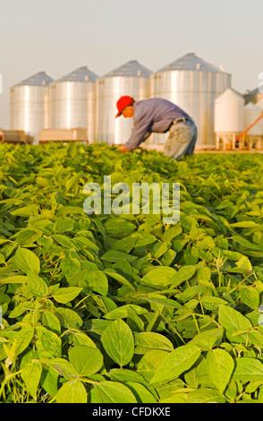 Man in mid growth soybean field, grain bins(silos) in the background, Lorette, Manitoba, Canada - Stock Photo