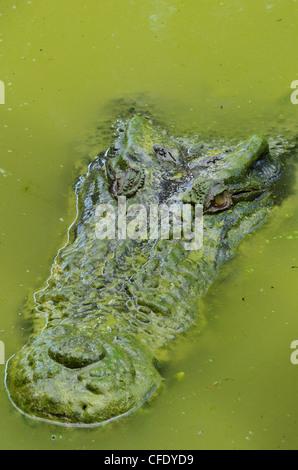 Saltwater,estuarine crocodile (Crocodylus porosus), Sarawak, Borneo, Malaysia, Southeast Asia, Asia - Stock Photo