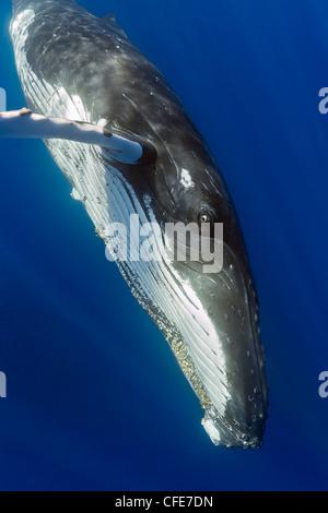 Humpback whale, Hawaii - Stock Photo