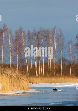 Castor castor fiber europe european beaver animal for Castor habitat