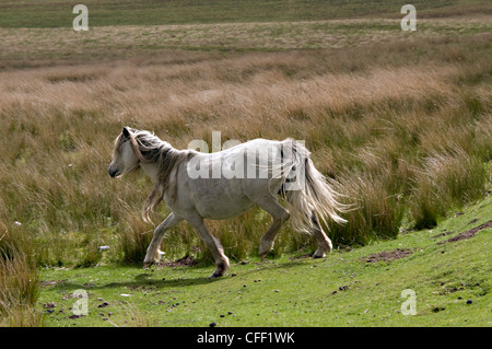 A Welsh mountain pony in the Brecon Beacons National Park, Wales,Britain - Stock Photo