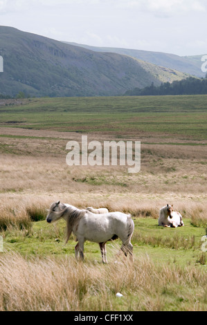 Welsh mountain ponies on open grassland in the Brecon Beacons National Park, Wales,Britain - Stock Photo