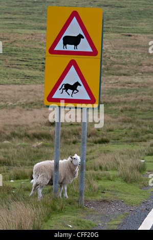 A Welsh ewe beside a motorist road warning sign in the Brecon Beacons National Park, Wales,Britain - Stock Photo