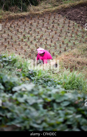 A farmer working in Longsheng rice fields, Guilin, China - Stock Photo