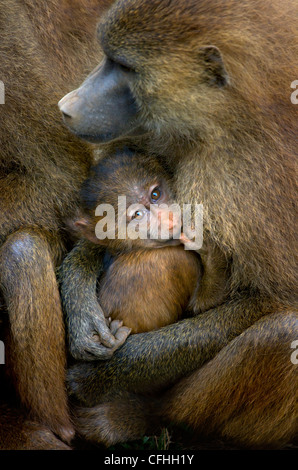 Guinea Baboon with infant, Cabraceno, Spain - Stockfoto
